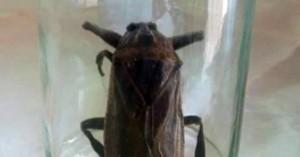 Το σαρκοφάγο έντομο που εντοπίστηκε στη Ροδόπη