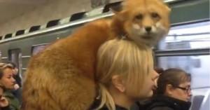 Ρωσίδα τύλιξε στους ώμους της τη... ζωντανή της αλεπού και βγήκε βόλτα!