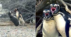 Πιγκουίνος πιάνει το ταίρι του με άλλον & το ξύλο που ακολουθεί δεν υπάρχει