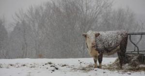 Αγελάδες τρώνε το αλάτι που ρίχνουν τα εκχιονιστικά