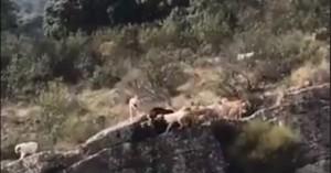 Βίντεο σοκ:Κυνηγός στέλνει σκυλιά να κυνηγήσουν ελάφι & πέφτουν στον γκρεμό