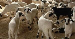 Πληρώθηκαν κτηνοτρόφοι σε Σφακιά και Ανώγεια για νεκρά ζώα