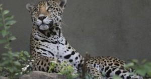 Σκότωσαν δύο τζάγκουαρ που δραπέτευσαν από το Αττικό Ζωολογικό Πάρκο