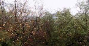 Ανησυχία στο Λασίθι από την ξήρανση ελαιόδεντρων