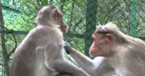 Μπαμπουίνοι έζησαν πάνω από έξι μήνες με καρδιά χοίρου