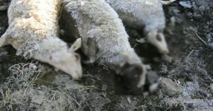 Νέο περιστατικό σφαγής ζώων στη Μεσσαρά