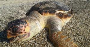 Αριθμός ρεκόρ για τις φωλιές της Caretta Caretta στις παραλίες της Ζακύνθου