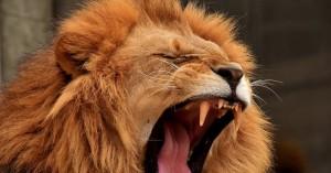 Λιοντάρι κατασπάραξε φύλακα γιατί μια μπάλα «μπλόκαρε» την πόρτα του κλουβιού του