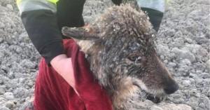 Έσωσαν λύκο από παγωμένο ποτάμι νομίζοντας ότι ήταν σκύλος
