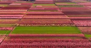 Στη Βέροια ο κάμπος βάφτηκε ροζ - Viral στο Instagram οι ανθισμένες ροδακινιές