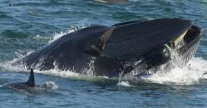 Φάλαινα κατάπιε δύτη και αυτός επέζησε