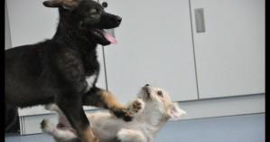 Κλωνοποιήθηκε για πρώτη φορά αστυνομικός σκύλος στην Κίνα