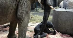 Γερμανία: Ελαφαντάκι γεννήθηκε μπροστά στους επισκέπτες ζωολογικού κήπου