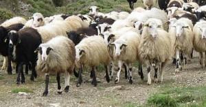 Έκτακτη στήριξη ήσσονος σημασίας (de minimis) στους αιγοπροβατοτρόφους της Κρήτης