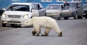 Πολική αρκούδα στα όρια της κατάρρευσης έψαχνε για τροφή στο κέντρο ρωσικής πόλης
