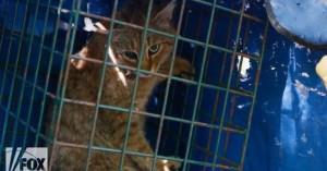 Εντοπίστηκε στην Κορσική νέο είδος γάτας-αλεπούς