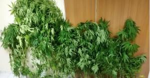 Συνελήφθη 41χρονος που καλλιεργούσε κάνναβη σε γλάστρες στον Δήμο Φαιστού