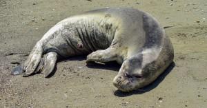 Σε δίχτυα παγιδεύτηκαν και πέθαναν οι 170 φώκιες που ξεβράστηκαν στα παράλια της Κασπίας