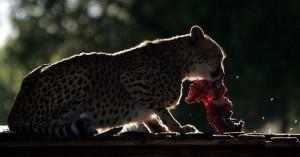 Άγρια ζώα πωλούνται για να σωθούν από την ξηρασία