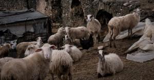 Ολόκληρο κοπάδι από πρόβατα πέθανε γιατί «έσκασαν» από το φαΐ