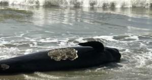 Τουλάχιστον 50 φάλαινες ξεβράστηκαν στην ακτή και λουόμενοι έδωσαν μάχη για να τις σώσουν
