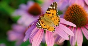 Σταθμός η Βρετανία στην εντυπωσιακή μετανάστευση των πεταλούδων Painted Lady