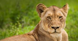 Λέαινα έφαγε τα νεογέννητα μωρά της σε ζωολογικό κήπο