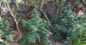 Δύο φυτείες με σχεδόν 500 δενδρύλλια κάνναβης, λίγο πριν την συγκομιδή, στα Χανιά (φωτο)