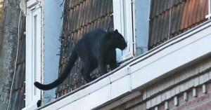 Μεγαλειώδες θέαμα σε γαλλική πόλη, πάνθηρας βγήκε βόλτα στις στέγες σπιτιών