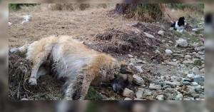 Πρωτοφανής η υπόθεση με τις φόλες στη Φλώρινα: Τουλάχιστον 50 σκυλιά νεκρά!