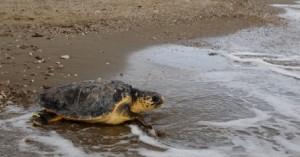 Ένα χρόνο μετά η χελώνα
