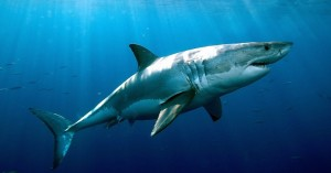 Σύζυγος γρονθοκόπησε λευκό καρχαρία για να σώσει την γυναίκα του
