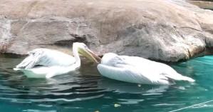 Συγκλονιστικό: Πελεκάνος προσπαθεί να επαναφέρει τον νεκρό φίλο του σε ζωολογικό κήπο