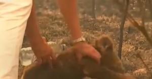 Γυναίκα σώζει κοάλα σε πυρκαγιά - Το ζώο κλαίει από τους πόνους