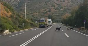 Είναι οι κακοί οδηγοί, είναι οι δρόμοι είναι και οι... κατσίκες στους δρόμους της Κρήτης