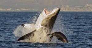 Η παράξενη συμπεριφορά του μεγάλου λευκού καρχαρία που έβαλε σε σκέψεις την επιστήμη