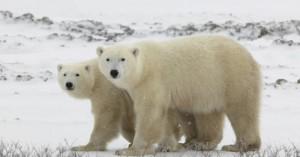 Πολικές αρκούδες «διώχνουν» τους κάτοικους οικισμού στη Ρωσία