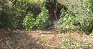 Βρέθηκαν οι καλλιεργητές φυτείας κάνναβης στο Ρέθυμνο