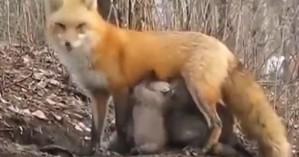 Εντατικοποιείται η παθητική επιτήρηση λύσσας λόγω κρουσμάτων σε γειτονικές χώρες