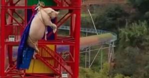 Φρίκη: Ανάγκασαν γουρούνι να κάνει bungee jumping για διαφήμιση (βίντεο)