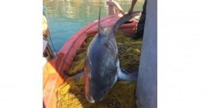 Καρχαριοειδές 4 μέτρων αλιεύτηκε στον Παγασητικό (Βίντεο)