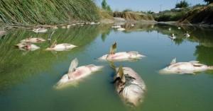 Νεκρά ψάρια ξεβράστηκαν στις όχθες ποταμών στη Βουλγαρία