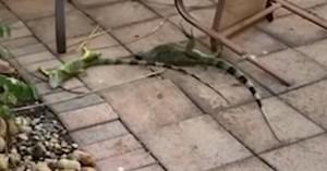 Πολύ χαμηλές θερμοκρασίες στο Μαϊάμι, παγωμένα ιγκουάνα πέφτουν από τα δέντρα