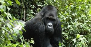 Ουγκάντα: Σκοτώθηκαν από κεραυνό τέσσερις ορεινοί γορίλες που είναι προστατευόμενο είδος