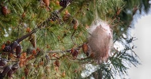 Ενημέρωση από τον Δήμο Ηρακλείου για την κάμπια των πεύκων