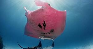 Δείτε ένα σαλάχι μάντα χρώματος… ροζ