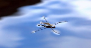 Μικροσκοπικό υδρόβιο έντομο είναι 100 φορές γρηγορότερο από τον Γιουσέιν Μπολτ