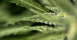 Κέρκυρα: Εντοπίστηκε «φυτεία» με 71 δενδρύλλια κάνναβης