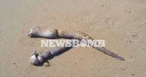 Χανιά: Τεράστιες σμέρνες ξεβράστηκαν στην παραλία των Αγίων Αποστόλων