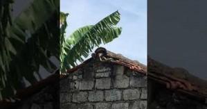 Ποντικός επιτίθεται σε φίδι που είχε αρπάξει το μικρό του και το σώζει (βίντεο)